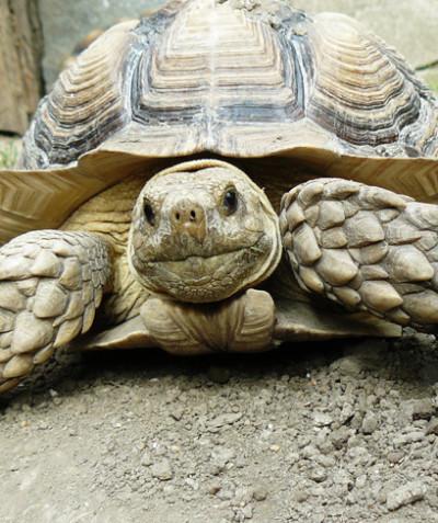 Testudo graeca – Greek tortoise