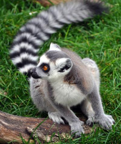 Lemur catta – Ring-tailed lemur