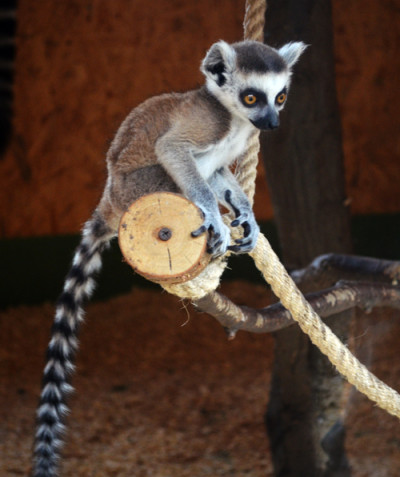 Lemur catta – Ring-tailed lemur