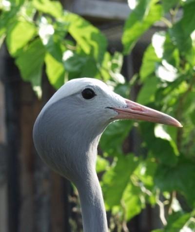Anthropoides paradisea – Blue Crane