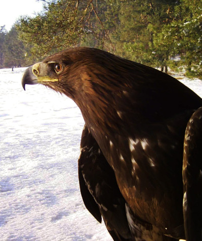 Aquila chrysaetos – Golden eagle