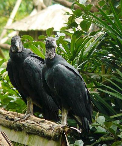 Coragyps atratus – Black vulture