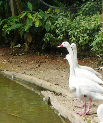 Coscoroba coscoroba – Coscoroba swan