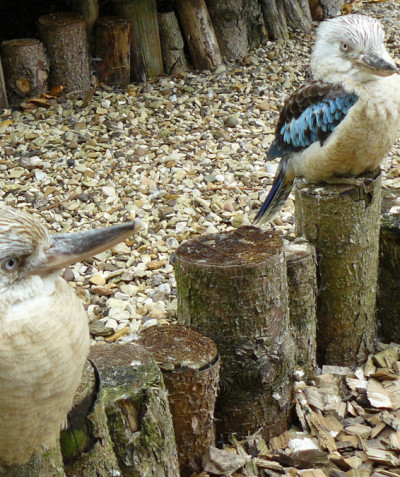 Dacelo leachii – Blue-winged kookaburra