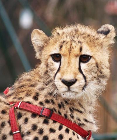 Acinonyx jubatus - Cheetah