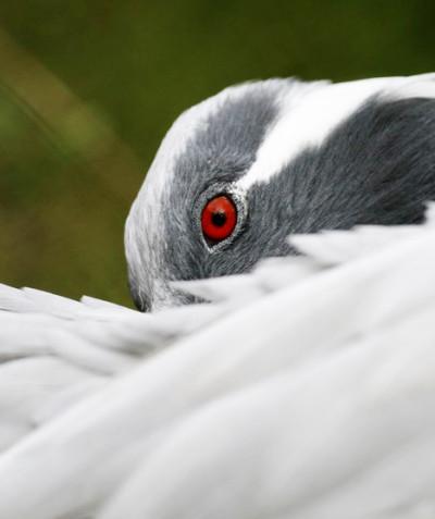 Anthropoides virgo – Demoiselle crane