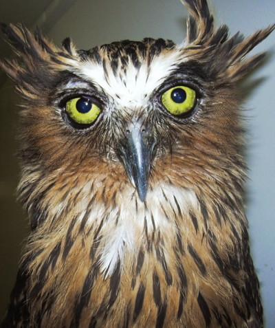 Ketupa zeylonensis – Brown fish owl