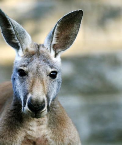 Macropus rufus – Red kangaroo