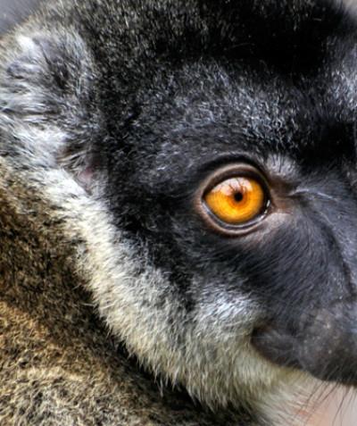 Eulemur fulvus fulvus – Common brown lemur