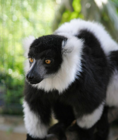 Varecia variegata – Black-and-white ruffed lemur