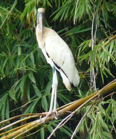 Mycteria americana – Wood Stork