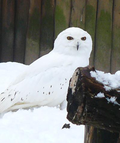 Nyctea scandiaca – Snowy owl