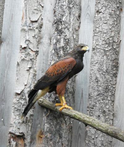 Parabuteo unicinctus – Harris' hawk