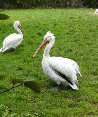 Pelecanus crispus – Dalmatian pelican