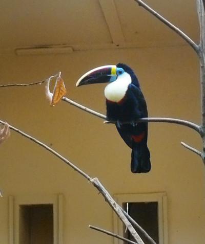 Ramphastos tucanus – White-throated toucan