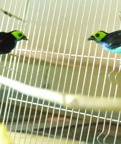 Tangara chilensis – Paradise tanager