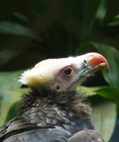 Trigonoceps occipitalis – White-headed vulture