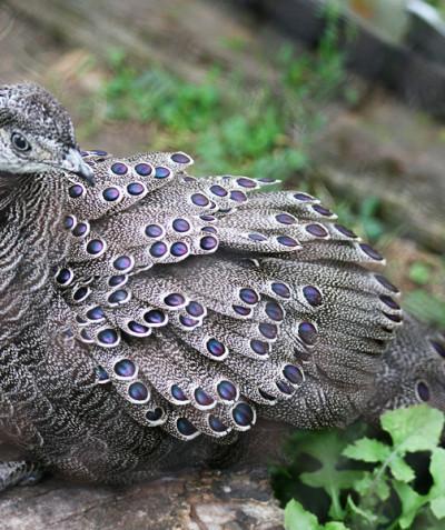 Polyplectron bicalcaratum – Grey peacock-pheasant