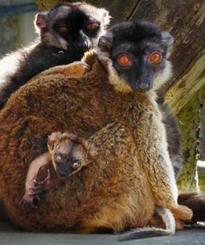 Eulemur fulvus – Common brown lemur