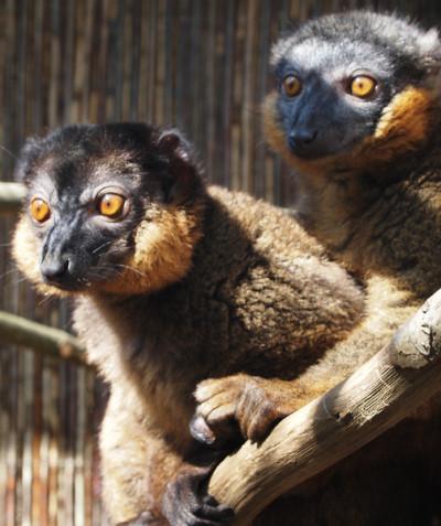 Eulemur collaris – Collared brown lemur