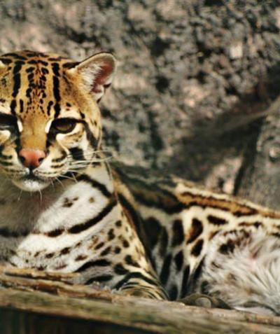 Leopardus pardalis – Ocelot