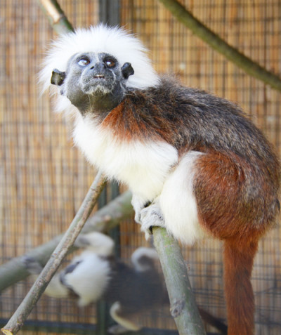 Saguinus oedipus – Cotton-top tamarin