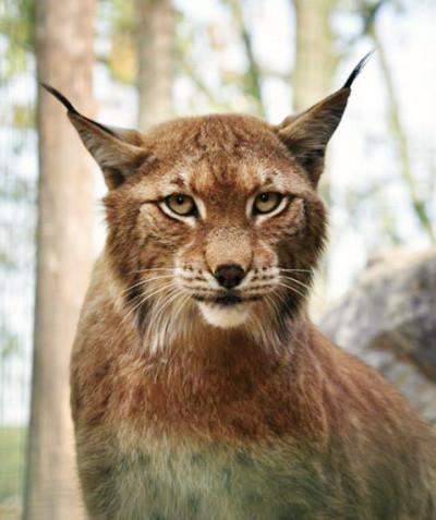 Lynx lynx – Eurasian lynx