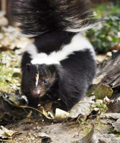 Mephitis mephitis – Striped skunk