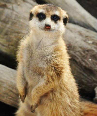 Suricata suricatta – Meercat