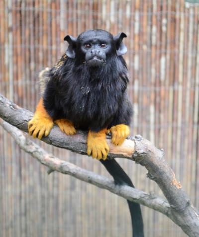 Saguinus midas – Red-handed tamarin