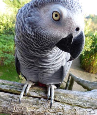 Psittacus erithacus – African grey parrot