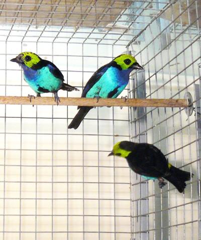 Tangara chilensis